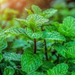 Pourquoi la menthe est fraîche?